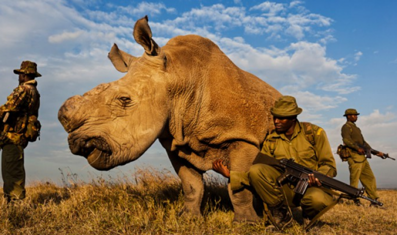 Armed Guard On 24/7 Watch Protect Last Male White Rhino In Existence