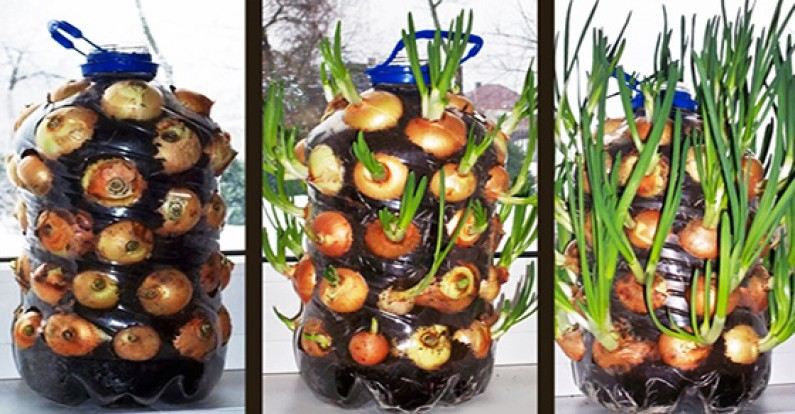 How To Easily Grow an Endless Supply Of Onions Indoors