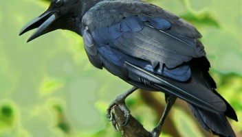 The Intelligence of a Crow