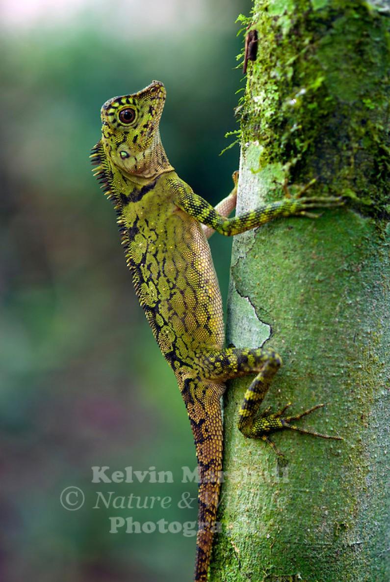 Indonesian Photographer Captures Dragon Lizard Playing Leaf Guitar